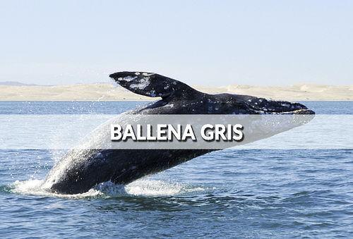 Avistamiento Ballena Gris y más... ¡Festeja Año Nuevo!