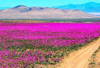 Desierto Florido en Copiapó Traslados, Hotel y Más