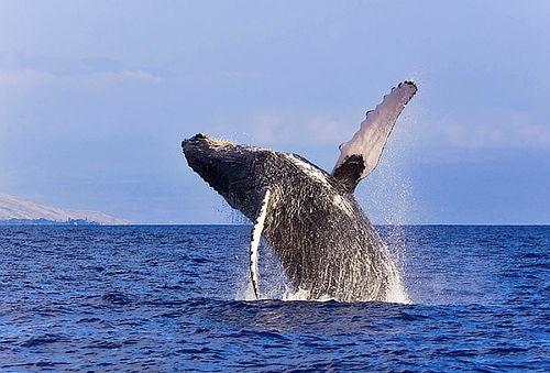 Avistamiento de Ballenas Jorobadas en el Mar Pacífico