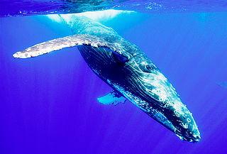 Avistamiento de Ballenas en Juachaco y Ladrilleros