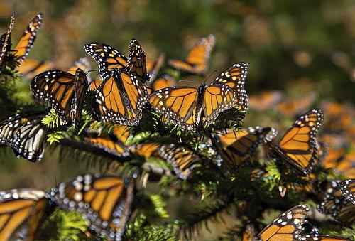 Santuario de La Mariposa Monarca ¡Tienes que ir!