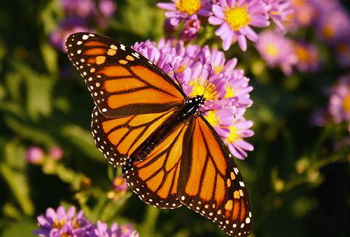 La Mariposa Monarca llega al Santuario el Rosario Michoacán