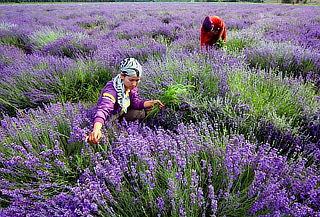 PASCUA: Cultivos de Lavanda + Chautla + Tlaxcala, Abril
