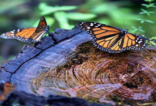 Reserva de Mariposa Monarca + Transporte ¡Fecha a elegir!