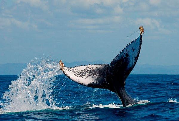 Avistamiento de Ballenas 4D/3N, La Tobara y Mazatlan ENE 28